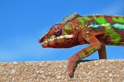 Pantera kameleon Zdjęcie Stock