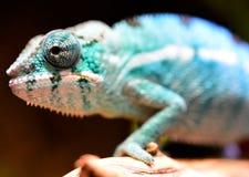 Pantera kameleon Zdjęcia Royalty Free