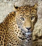 Pantera (leopardo) imágenes de archivo libres de regalías