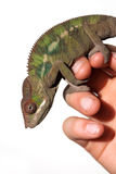 Pantera męski kameleon Zdjęcia Stock