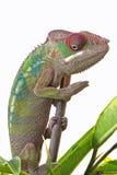 Pantera męski kameleon Obraz Royalty Free