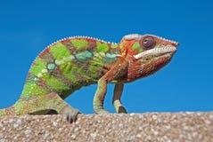 Pantera męski kameleon Obrazy Stock
