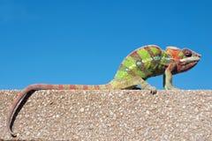 Pantera męski kameleon Zdjęcie Stock