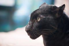 Pantera negra Foto de archivo libre de regalías