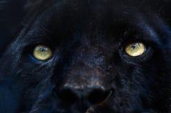 Pantera nera immagini stock libere da diritti
