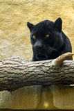 Pantera nera in una recinzione dello zoo immagini stock libere da diritti