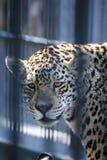 Pantera no jardim zoológico imagens de stock royalty free