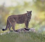 Pantera ou puma de Florida Foto de Stock