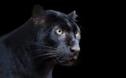 Pantera preta imagem de stock