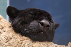 Pantera preta do sono Imagens de Stock Royalty Free