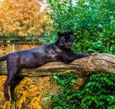 Pantera preta que coloca em um ramo de árvore, variação da pigmentação, animal popular do jardim zoológico imagem de stock royalty free