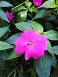Pantera rosa fotografia stock libera da diritti