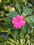 Pantera rosa fotografia stock