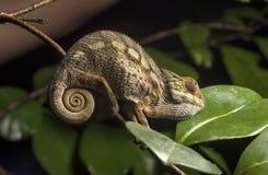 Panterkameleon Stock Foto's