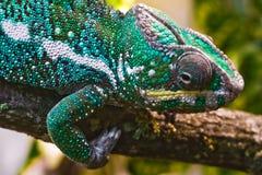 Panterkameleon Royalty-vrije Stock Foto's