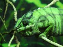 Panterkameleon die uit de dag bekijken royalty-vrije stock foto
