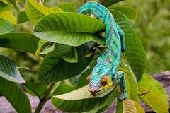 Panterkameleon lat Furciferpardalis Madagascar stock fotografie