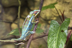 Panterkameleont Royaltyfria Bilder