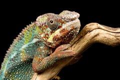 Panterkameleont Royaltyfri Bild