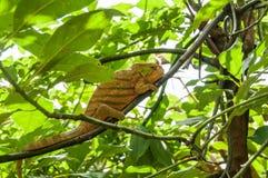 Panterkameleont Royaltyfri Foto