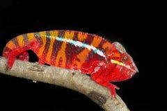Panterkameleont, marozevo Arkivfoto