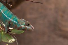 PanterkameleontFurcifer pardalis från Madagascar som sätta sig på en filial royaltyfri foto