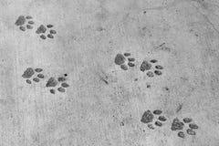 Pantervoetafdrukken (pawprint imitatie) Stock Foto's