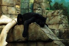 Panthère noire Photographie stock libre de droits