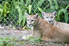 Free Panther Stock Image - 1247331