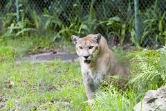 Panther. Florida panther on the prowl Stock Photo