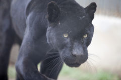 Panther. The front view of a panther Royalty Free Stock Photography