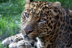 Panther Royalty Free Stock Photo