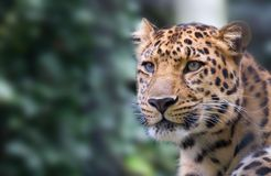 Panther. A head shot of a panther ( filis onca stock photos
