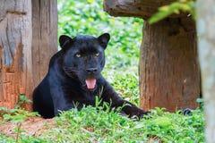 panther Royalty-vrije Stock Foto