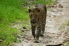 Panther Stock Image