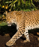 Panther. A Chinese leopard or panther walking in the jungle Stock Photo