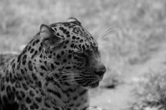 Panther. Animal pretty black danger asian panther wild beast predator Stock Image