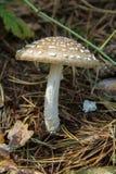 Panther cap mushroom. Panther cap Amanita pantherina mushroom Stock Photos