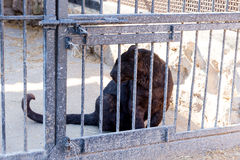 Panther in captivity in a zoo behind bars. Power and aggression in the cage. Panther in captivity in a zoo behind bars. Power and aggression in the cage Stock Photos