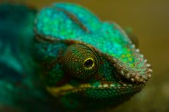 Panther chameleon. Head of colorful Panther chameleon in close view Stock Photography
