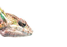 Panther chameleon Stock Photography