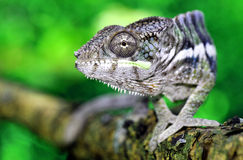 Panther Chameleon Stock Photo