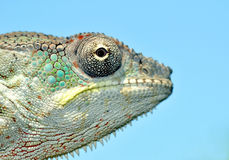 Panther chameleon Royalty Free Stock Photo