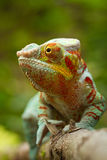Panther Chameleon. Climbing on the branch Stock Photography