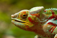 Free Panther Chameleon Royalty Free Stock Images - 21556129