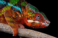 Panther chameleon. The Panther chameleon, Furcifer pardalis, is a large chameleon species from northern Madagascar and the island of Reunion. It is famous for it Stock Image