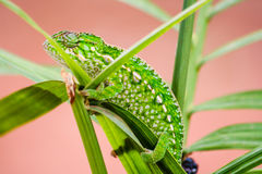 Panther chameleon. Endemic reptile of Madagascar Stock Image