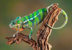 Panther Chameleon. An ambilobe panther chameleon is crawling on some petrified wood Royalty Free Stock Photos
