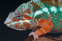 Panther chameleon. The Panther Chameleon / Furcifer pardalis is a big chameleon species from Madagascar Royalty Free Stock Photos