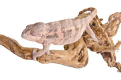 Panther chameleon. Close up of a panther chameleon against white background Stock Photos